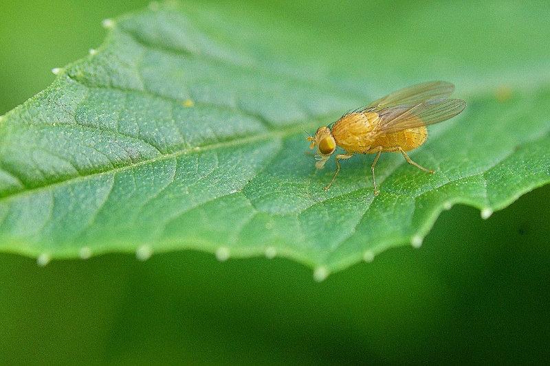 Fruchtfliegenfalle Alternative